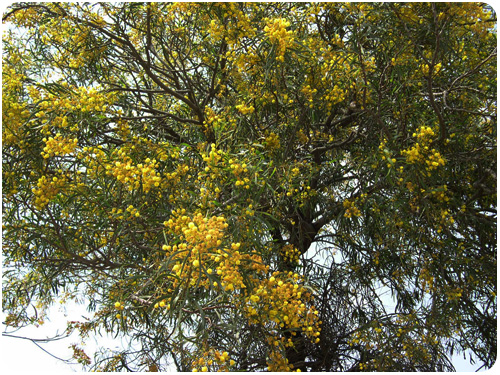 acacia trees in bloom, elysian park, los angeles