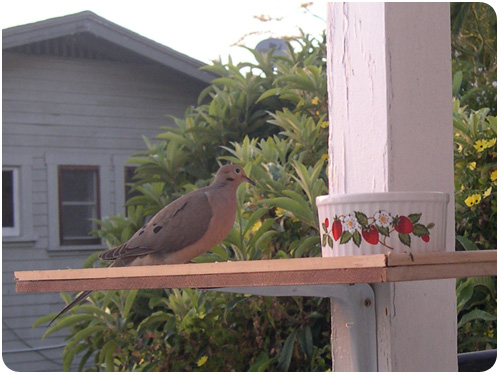 mourning dove eating bird seed
