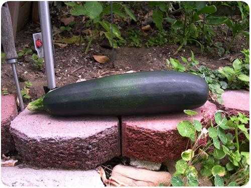 giant zucchini, july 2010