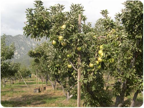 granny smith apples at los rios rancho