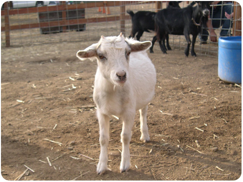 white goat at los rios rancho