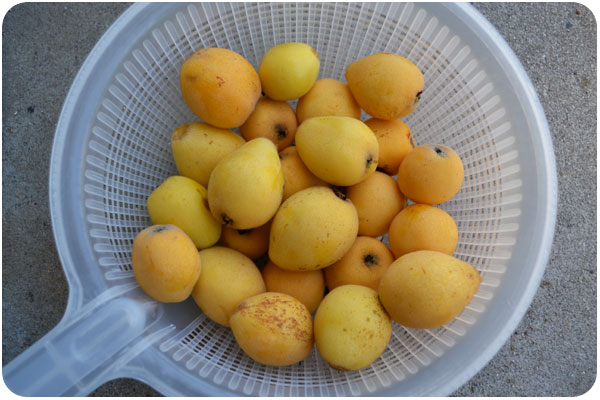 picked loquats