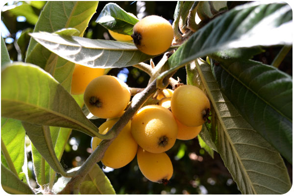 ripe loquats