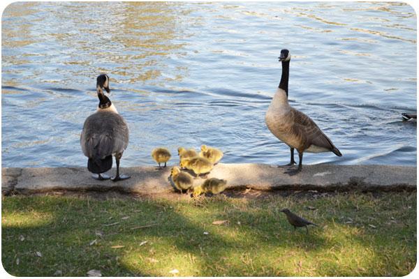 echopark_geese