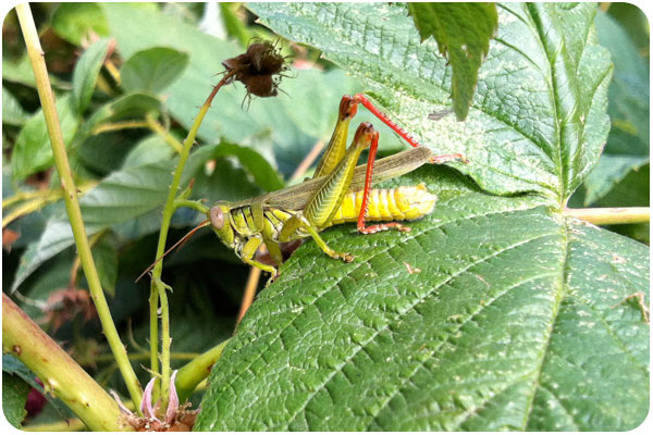 grasshoppers in the raspberry patch