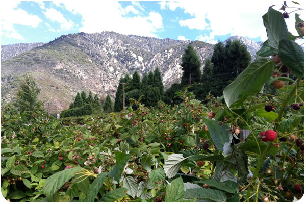 raspberry patch in the mountains of oak glen, california