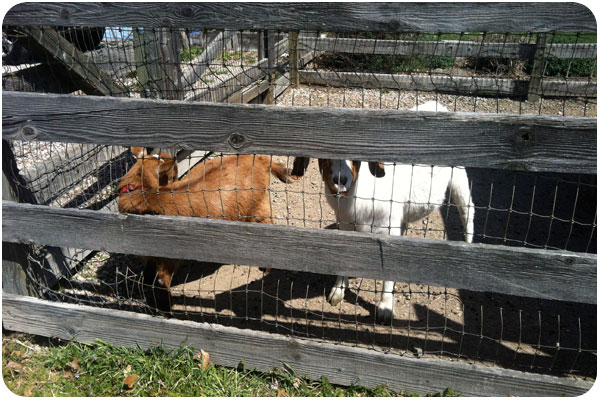 goats at kenneth volk / lone madrone