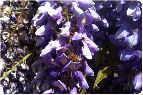 wisteria & bees at beckmen vineyards